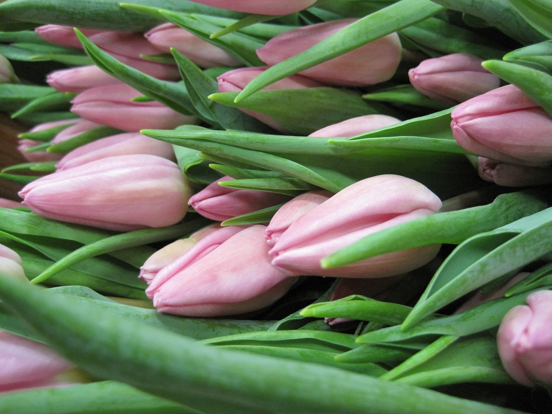 Tulips: Harvesting Season for Tulips